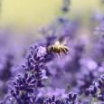 lawenda-pszczoly